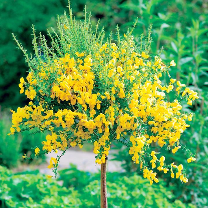Cytisus racemosus Plant - Mini Standard