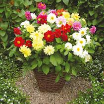 Dahlia Plants - Delight Mix