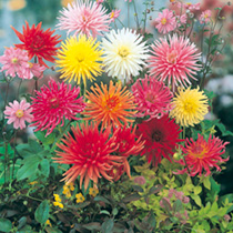 Dahlia Seeds - Clangers Mix