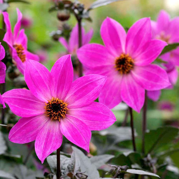 Plants & Plant Care Dahlia Magenta Star Plants