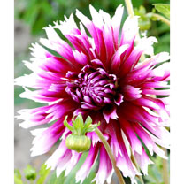 Dahlia Plant - Alauna Clair Obscur