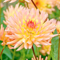 Dahlia Plant - Alfred Grille