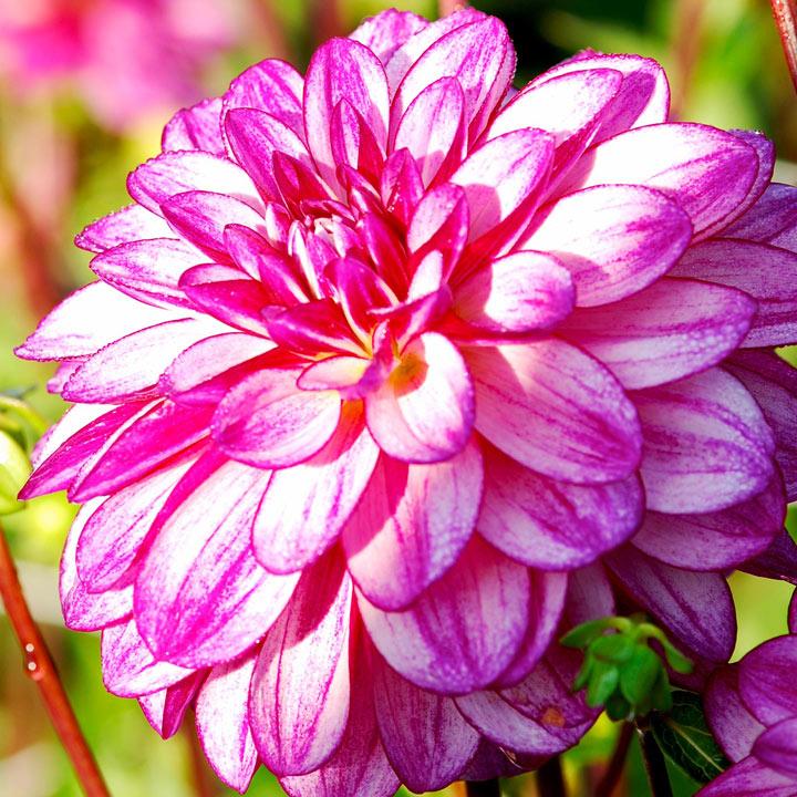 Dahlia Plant - Sincerity