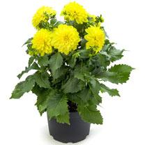 Dahlia Plant - LaBella Maggiore Yellow