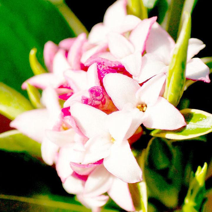 Daphne odora Plant - Aureomarginata