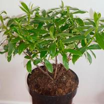 Daphne aurea marginata Plant