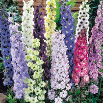 Delphinium Seeds - Delight Mix