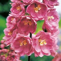 Delphinium Plant - Astolat