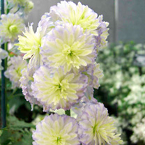Delphinium Highlander Moonlight Plants
