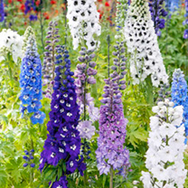 Delphinium Seeds - Magic Fountains Mix