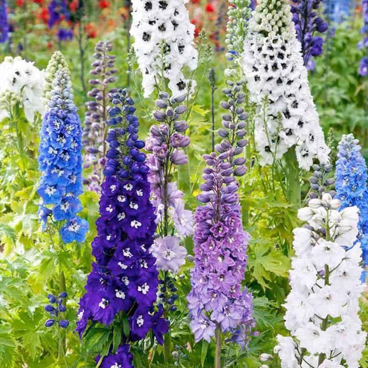 Delphinium Magic Fountains Mix Seeds