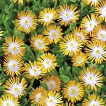 Delosperma Plants - Collection