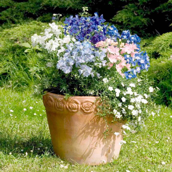 Delphinium Plants - Summer Skies