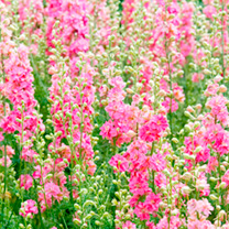 Delphinium Seeds - Rose Striped
