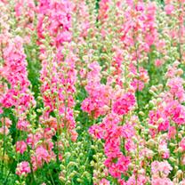 Delphinium Seeds - Rose Striped