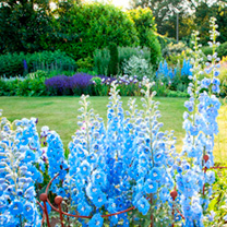 Delphinium Plants - Summer Skies