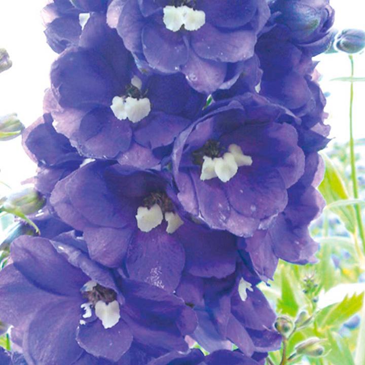 Delphinium Plant - King Arthur