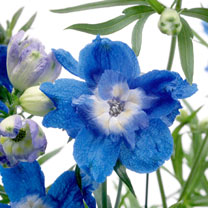 Delphinium Plants - Summer Cloud