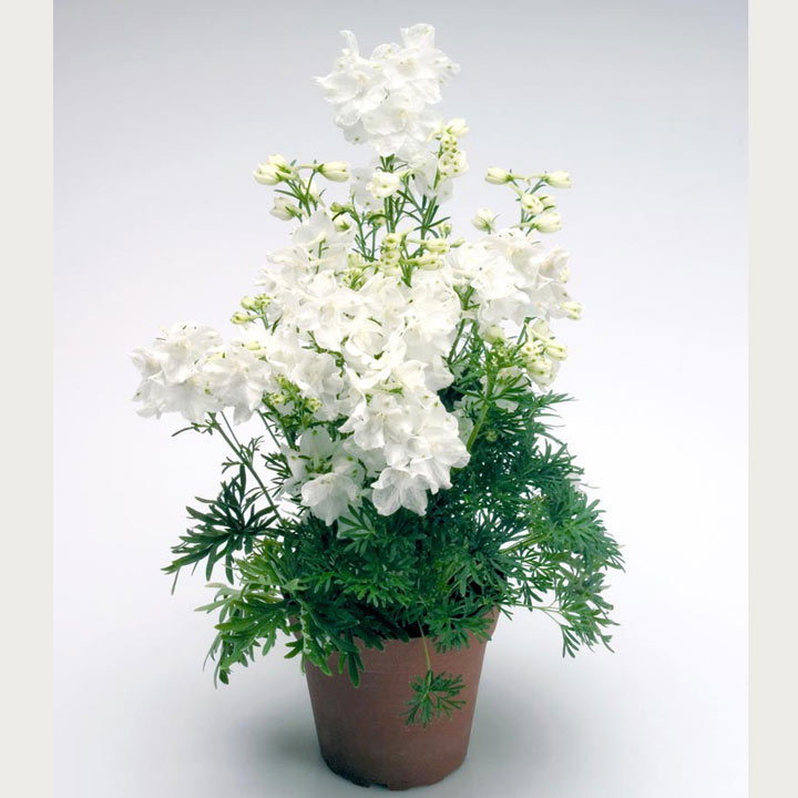 Delphinium Plant - Summer Stars