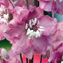 Delphinium Plant - Magic Fountain Deep Rose White Bee