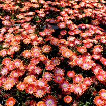 Delosperma Plant - Jewel of Desert Sunstone