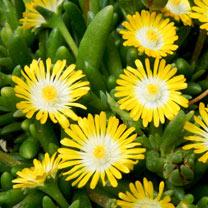 Delosperma Plant - Jewel of Desert Peridot
