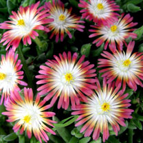 Delosperma Plant - Jewel of Desert Ruby