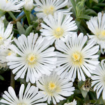 Delosperma Plant - Wheels of Wonder White Wonder