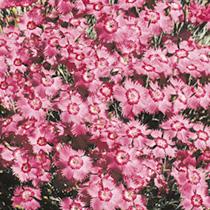 Dianthus Seeds - Bagpuss