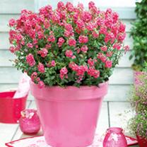 Diascia Plant Sundiascia Rose Pink