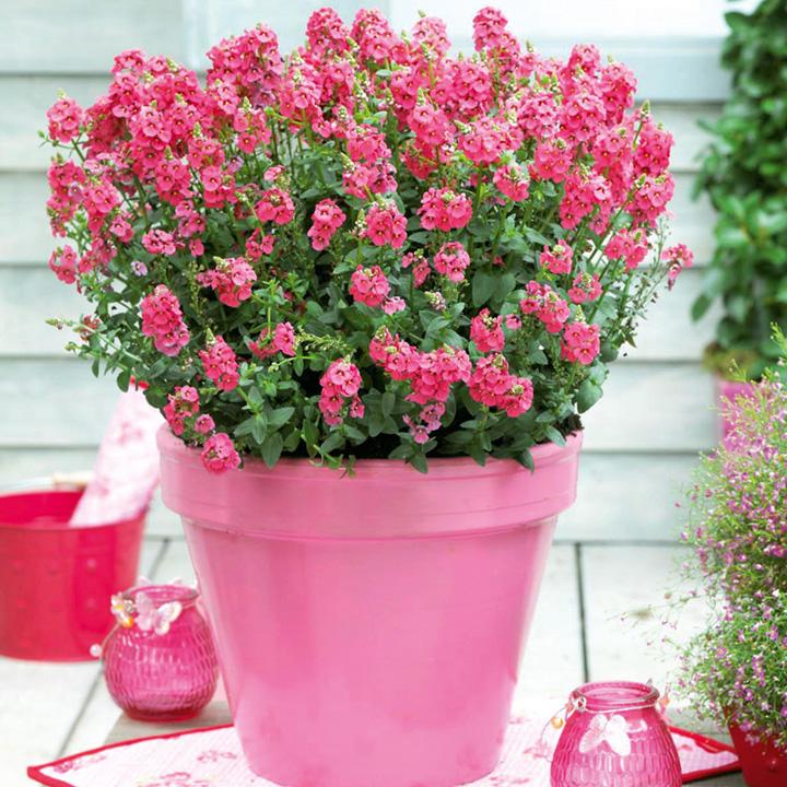 Diascia Plant - Sundiascia Rose Pink