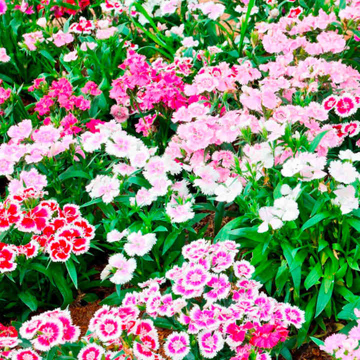 Dianthus Plants - Ideal Mix