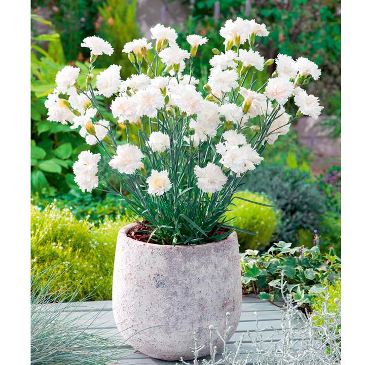 Dianthus Plant - Memories