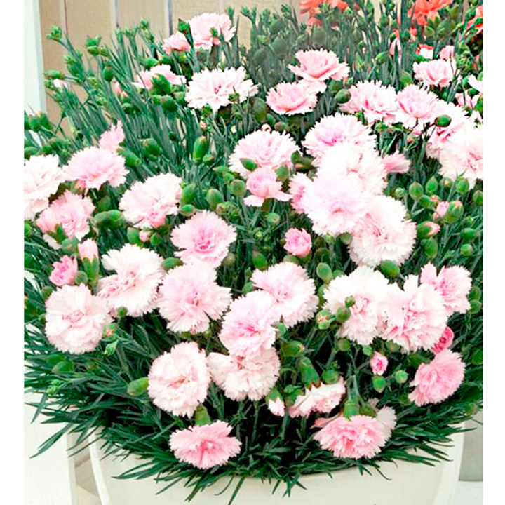 Dianthus Plant - Candy Floss