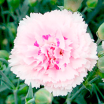 Dianthus Plants - Collection