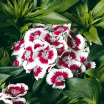 Sweet William/Dianthus Plants - Collection