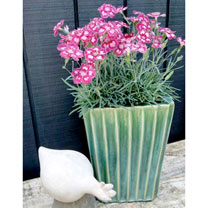 Dianthus Scent from Heaven Collection