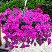 Dianthus Plants - Devine Neon Purple