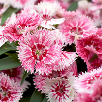 Dianthus Plants - Ideal Select Whitefire