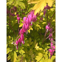 Dicentra spectabilis Plant - Gold Heart