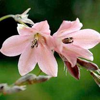 Dierama Plant Igneum