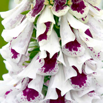 Spikes of large, neatly arranged, creamy-white flowers with burgundy blotches, and unusually cut lower petals that give the plants an open, airy feel.