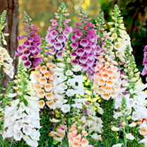 Digitalis Plants - Dalmatian