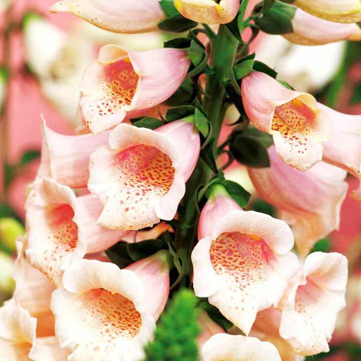 Digitalis Plant - Dalmatian Peach