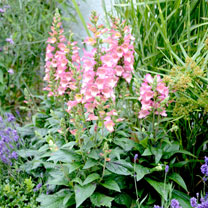 An outstanding breakthrough hybrid which produces masses of beautiful hot pink flowers with a creamy yellow throat and bugundy speckling. The very lar