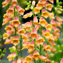 The foxgloves that have it all! Continuous summer flowering with unusual peachy coloured blooms that grow in a range of soils. Short and neat for the
