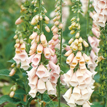 Digitalis Seeds - Suttons Apricot