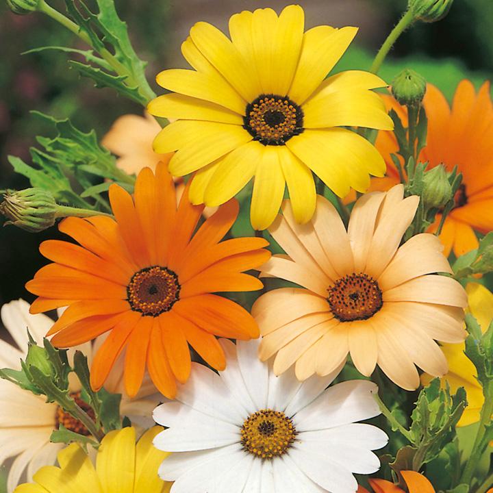 Dimorphotheca aurantiaca Seeds - Summertime Mix