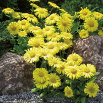 Bushy plants with masses of single flowers. Sunny little plants! Blooms will last for up to 8 days in a vase. Height 30-40cm (12-16). HP Hardy perenni