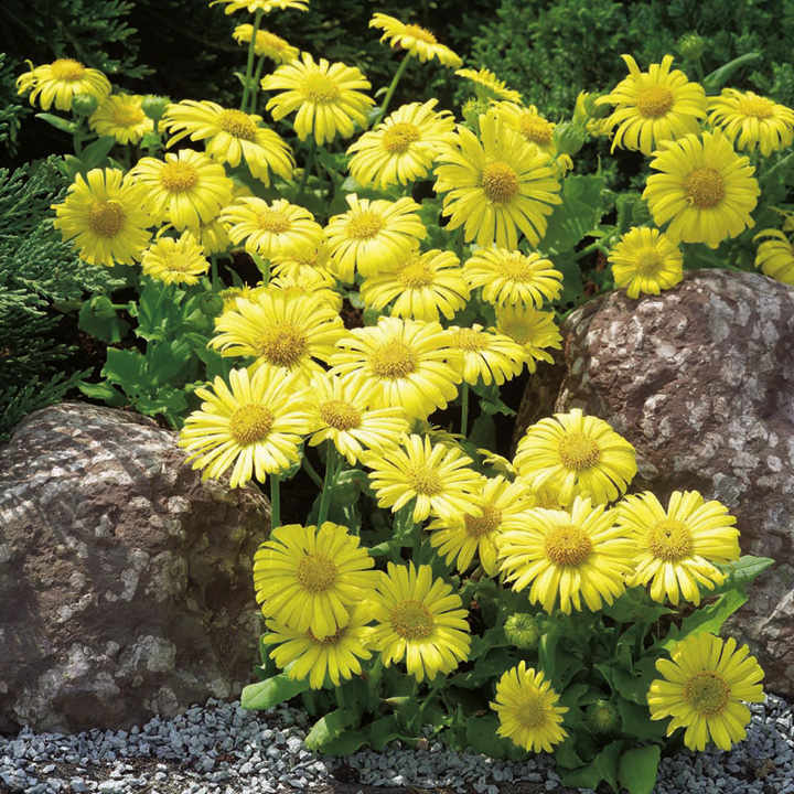 Doronicum Seeds - Little Leo